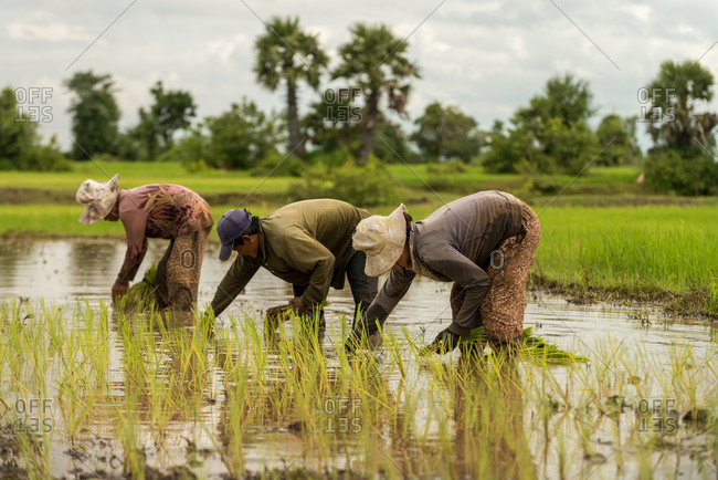 CAMBODIA - 2013 August 15: Local farmers work in paddy fields.