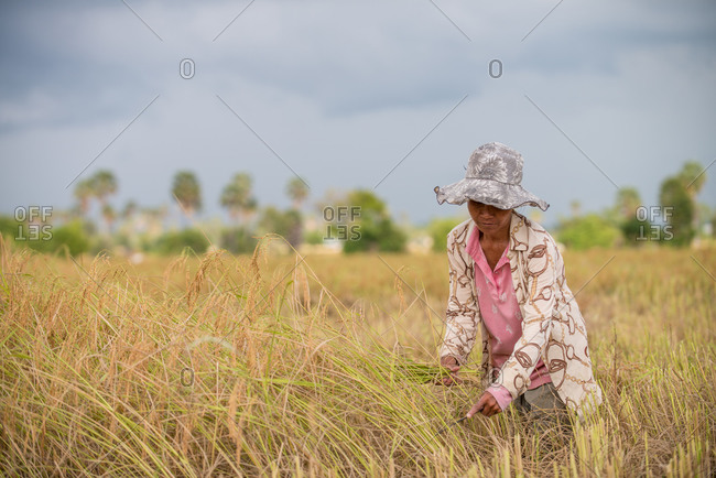 KEP, CAMBODIA - 2013 December 16: Local farmer harvests rice.