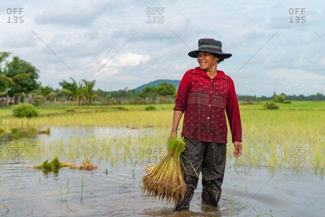 SIEM REAP,CAMBODIA - 2013 September 27: Transplanting rice.