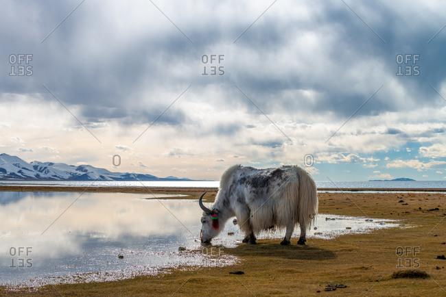 Namtso Lake, Tibet 12 Oct 2014: Yak grazing late afternoon.