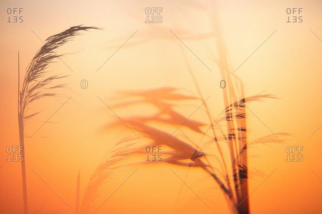 Setting sun illuminating ears of wheat
