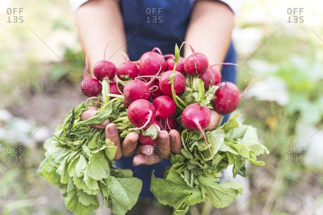 Hands of woman harvesting fresh radishes at vegetable garden