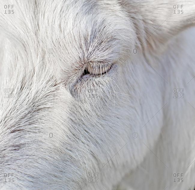Close up beautiful white goat eye and eyelashes, animal background