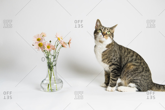 House cat playing in the studio with pink flowers
