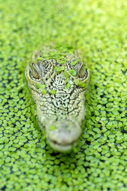 Close-up of a crocodile head