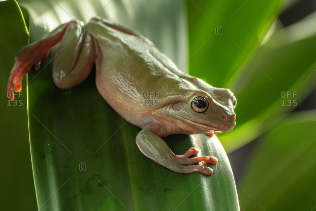 White lipped tree frog on the leaf