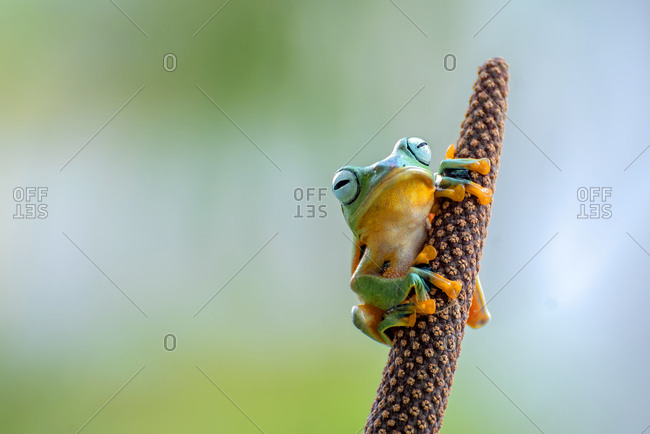 Green tree flying frog on tree branch