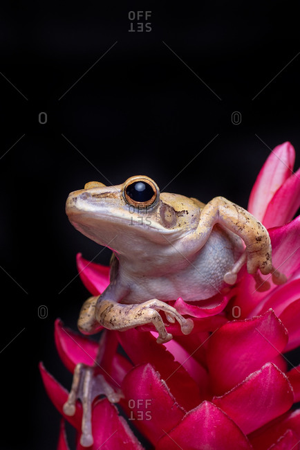 Javan tree frog perched on red flowers