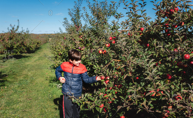 Young boy picking apples in an apple orchard on a sunny day.