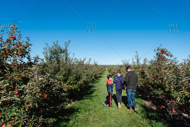 Father and sons picking apples in an orchard on a sunny fall day.