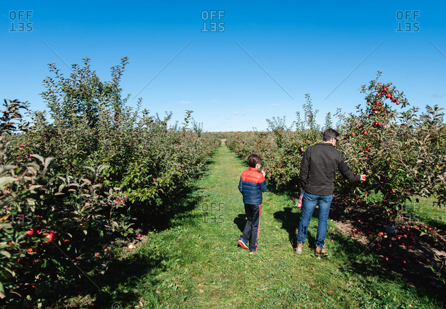 Father and son picking apples in an orchard on a sunny fall day.