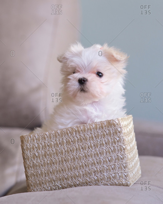 Small furry white wool dog inside a small wicker basket in the h