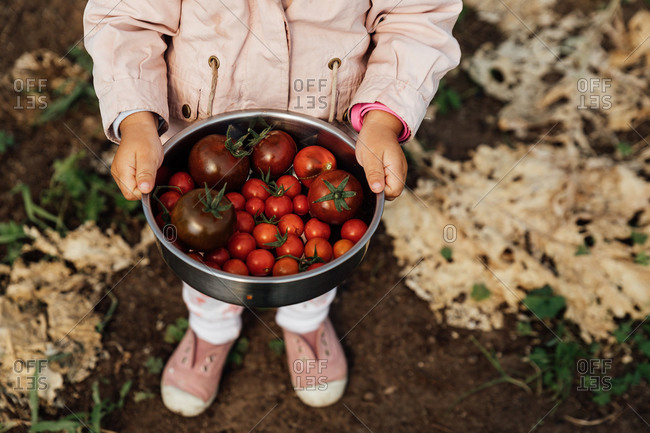 Close-up of a girl's hands holding organic cherry tomatoes among the plants.