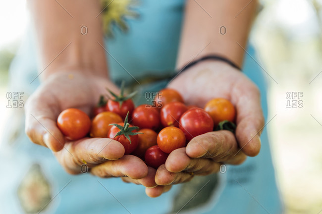 Close-up of a woman's hands holding organic cherry tomatoes. agriculture concept