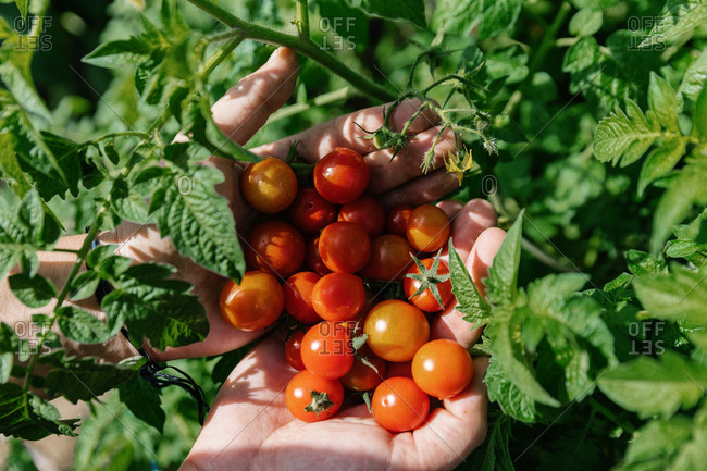 Close-up of a woman's hands holding organic cherry tomatoes among the plants.