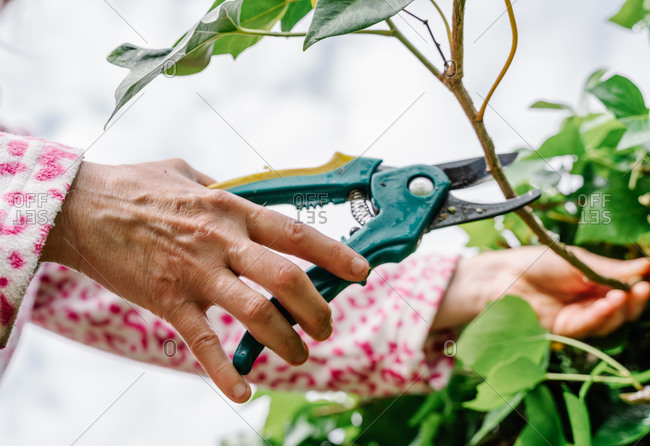 Woman with scissors pruning green ivy in a garden. Horizontal photo