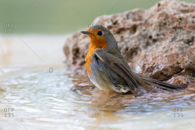 Robin bird at the bathroom
