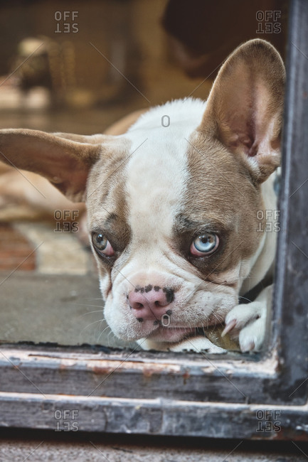 Calm cute French bulldog looking at camera through shabby window of old building