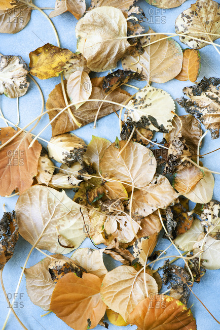 Close up of Autumn leaves on blue surface