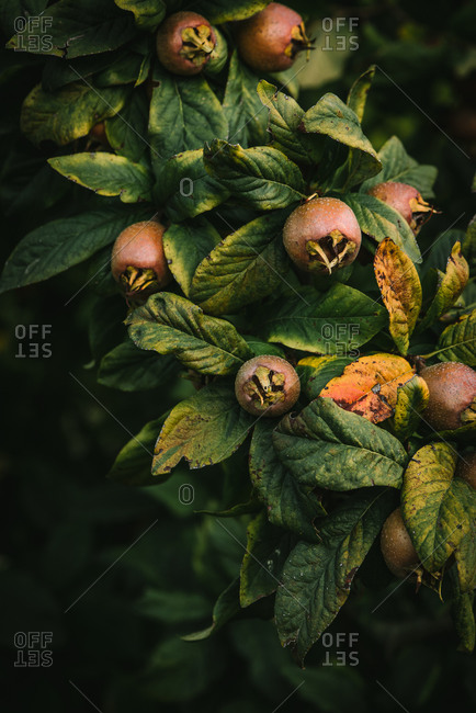 A common medlar tree with ripe fruit in late fall