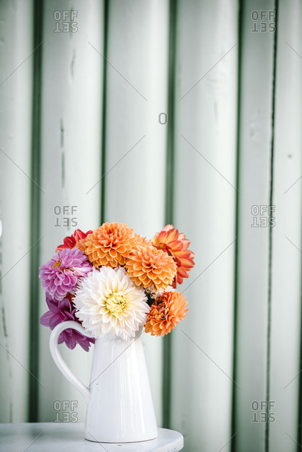 Colorful garden dahlia flowers in a white pitcher