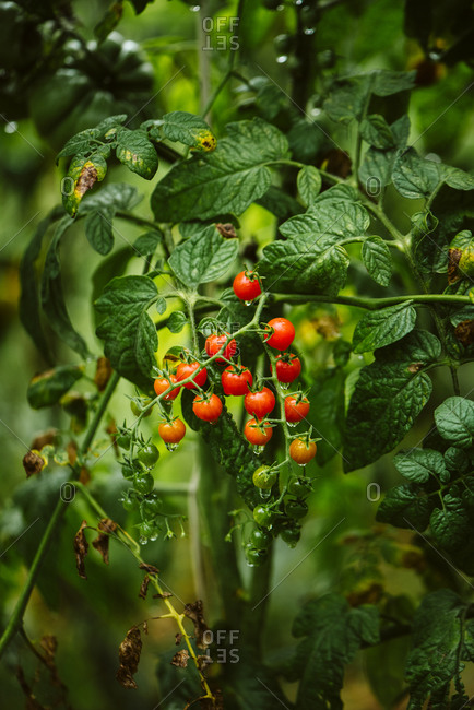 Small tomatoes ripening on a vine in a garden