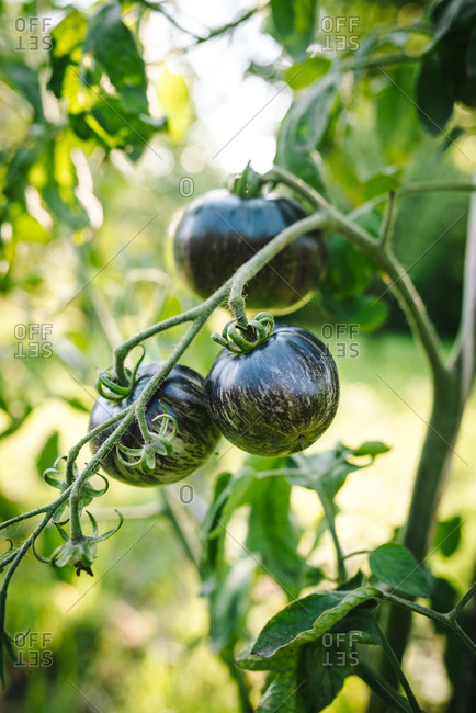 Black tomatoes ripening on a vine in a garden