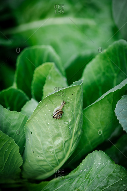 A small snail on a green cabbage leaf in a garden