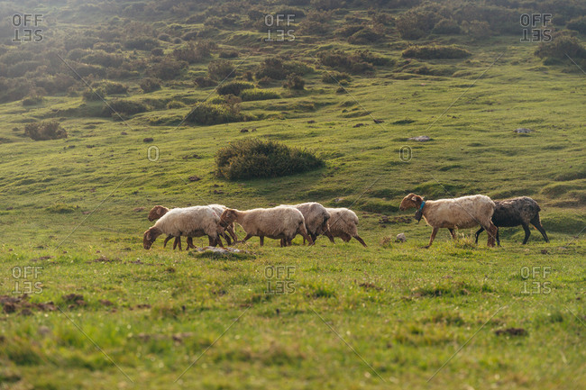 Herd of cute sheep walking and grazing on lush grassy meadow in summer countryside