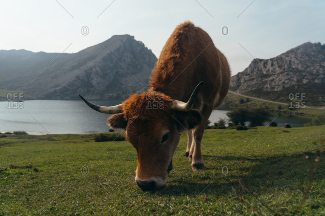 Full body red aubrac cow with big cow bell on necks pasturing on lush green meadow in farmland