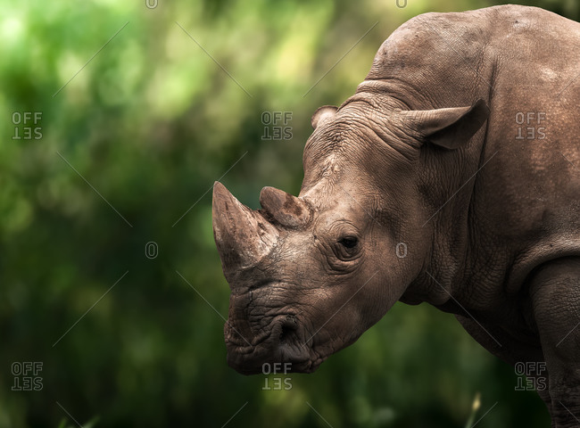 Horizontal outdoors shot of rhino standing on green lawn.