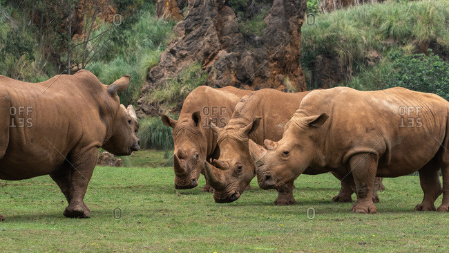 Horizontal outdoors shot of rhinos pasturing on green lawn.