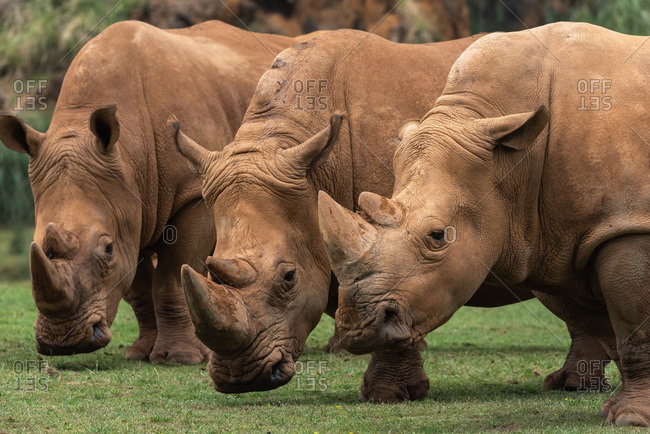 Horizontal outdoors shot of three rhinos pasturing on green lawn.