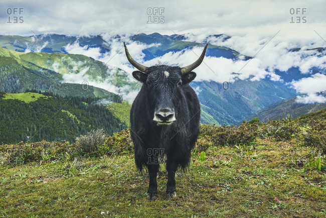 Adult black yak with horns and white spot on head on small meadow covered with grass on top of mountain in valley under clouds