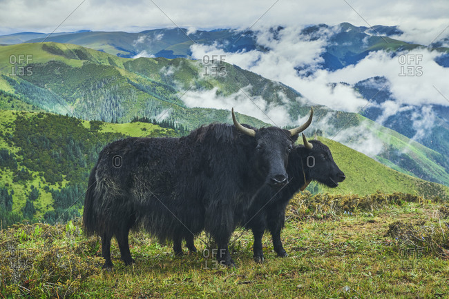 Adult black yaks with horns and white spot on head on small meadow covered with grass on top of mountain in valley under clouds