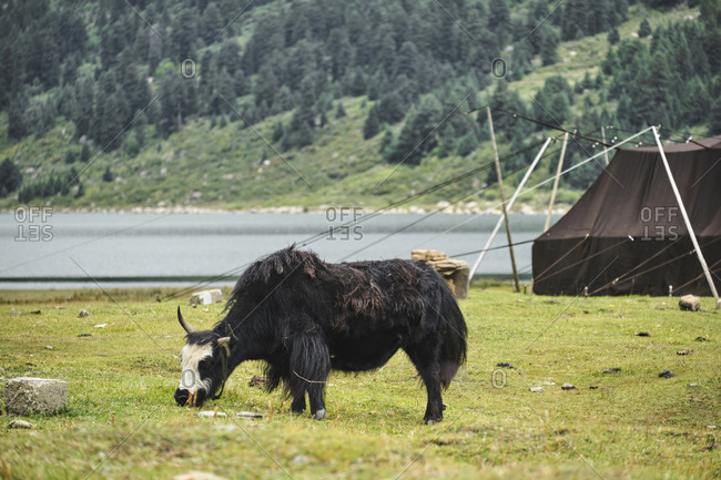 Side view of fluffy cattle with horns pasturing and walking in green bushy mountains