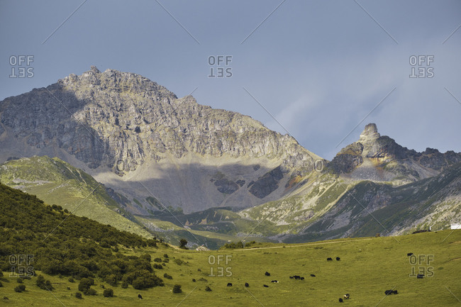 Adult black yaks with horns and white spot on head on small meadow covered with grass on top of mountain in valley