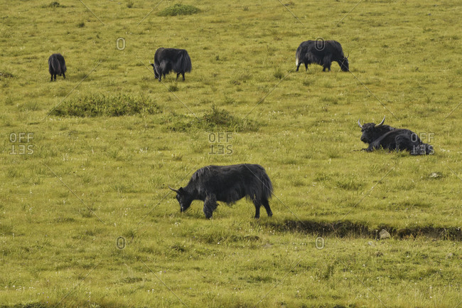 Wild bulls with horns eating grass and pasturing while walking in fresh filed