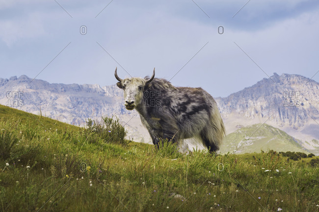 Wild bull with horns eating grass and pasturing while walking in fresh filed