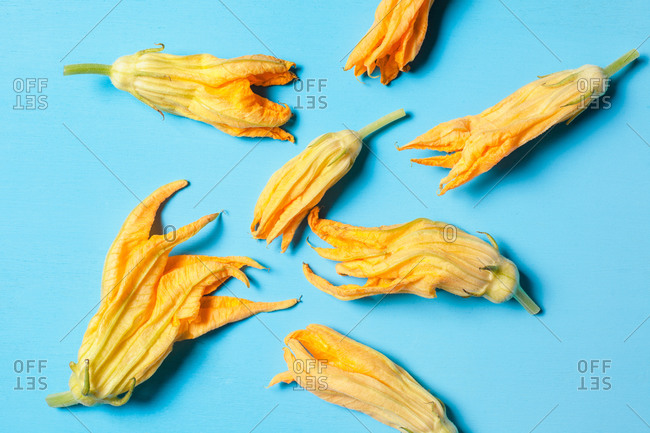 Top view of colorful blossoming squash flowers with gentle petals and pointed edges on blue surface