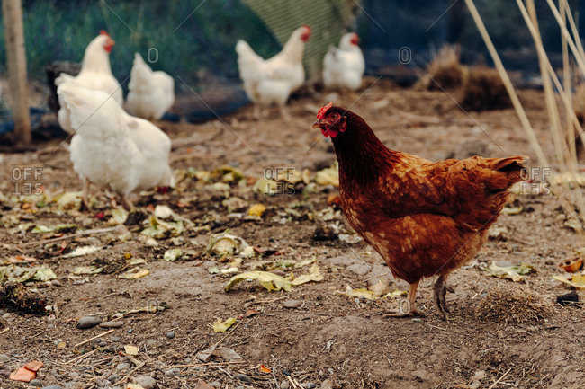 Cute white and brown chickens standing on ground of hen house in village
