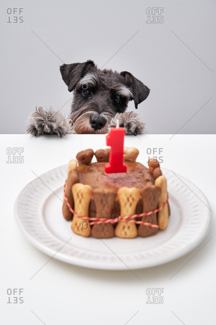 Adorable dog with birthday cake from bone cookies and pate decorated with candle