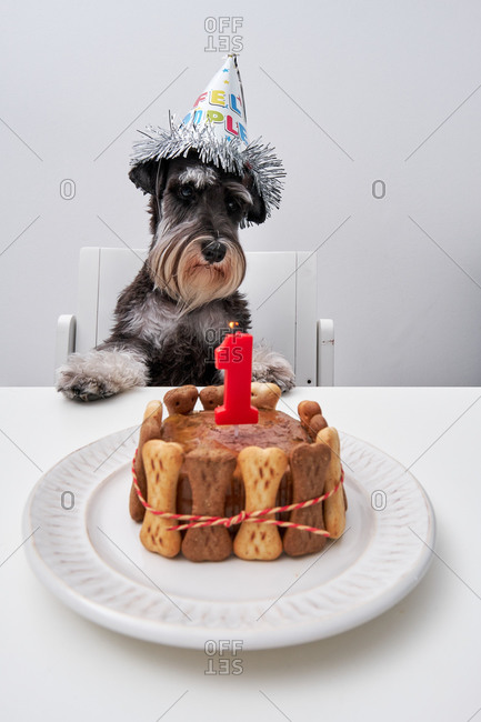 Adorable dog in funny party hat sitting at table with birthday cake from bone cookies and pate decorated with candle