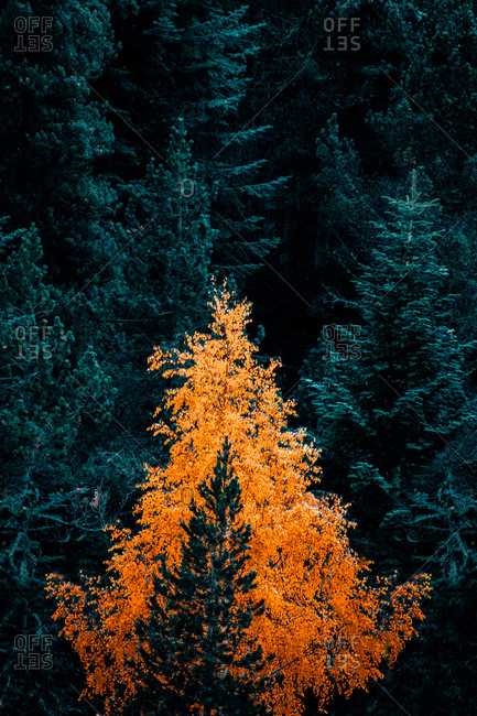 From above drone view of dense forest with bright colorful foliage among green coniferous trees