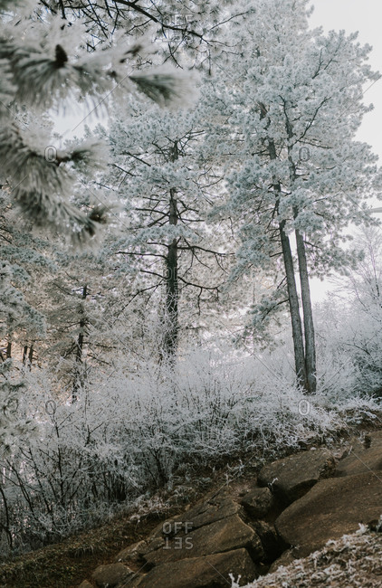 White snow covered trees on a rocky mountainside