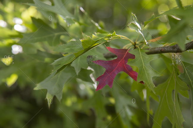 A red pin oak leaf, early to change color, stands out against a branch of green Vernon, Okanagan Valley, British Columbia