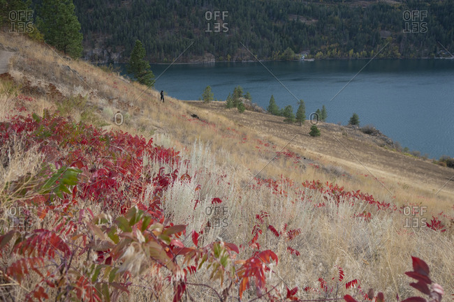 A woman walks her dog through grasslands with vibrant red sumac bushes in Kalamalka Provincial Park, Vernon, British Columbia