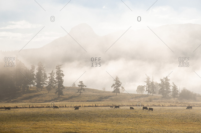 Fog over ranchland dotted with cows in the rural community of Lavington, in British Columbia's Okanagan Valley