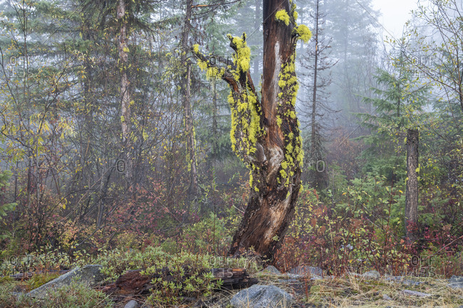 An old tree decorated with vibrant lichen stands out in a forest above Rossland, British Columbia
