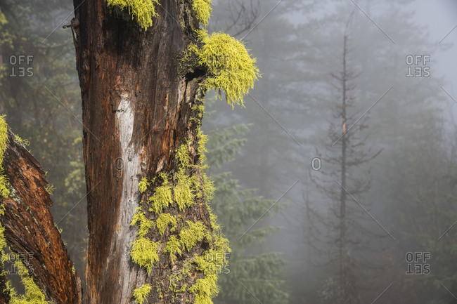 Close up of an old tree decorated with vibrant lichen stands out in a forest above Rossland, British Columbia
